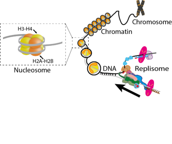 Replisome in the context of chromatin